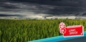 Weizenfeld mit genmanipulierten Pflanzen